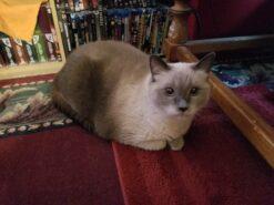 Nimrod the cat